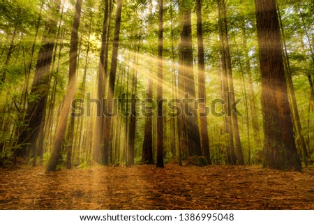 Beautiful light from sunrays in the Redwoods #1386995048