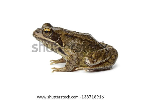 Single Common frog isolated on white background #138718916