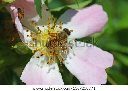 honey bee on a prairie rose or wild rose in bloom in springtime in Italy Latin rosa canina and similar to a sweet briar also called eglantine state flower or state symbol of Iowa and North Dakota #1387250771