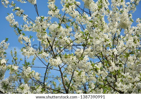 A flowered cherry tree in a spring garden Kyiv, Ukraine. #1387390991