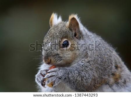 Healthy Grey Squirrel having a winter snack. #1387443293