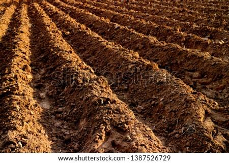 cassava planting plot land, area black soil for cassava plantation farm, landscape agricultural.  #1387526729