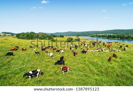 Aerial view of the herd of cows and sheep at green meadow near with river. Drone photo of plein air of river and green field with herd of cows and sheeps. Ural, Bashkiria, Russia. #1387895123
