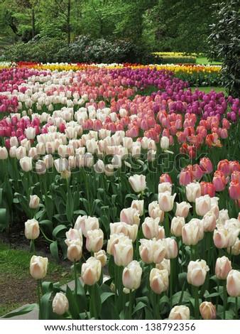 Keukenhof: tulip gardens with red, yellow, white and orange tulips and blue muscari