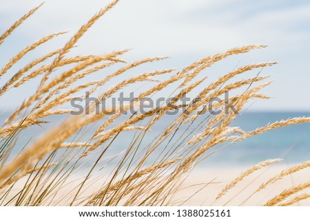 Dune grass sea landscape. Golden beach grass against a pastel beach background - Image Royalty-Free Stock Photo #1388025161