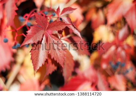 Red girlish grape leaves on blurred foliage background close up, autumn orange leaves pattern macro, warm fall sunny day nature image,  Parthenocissus, Virginia creeper climber plant, copy space #1388114720
