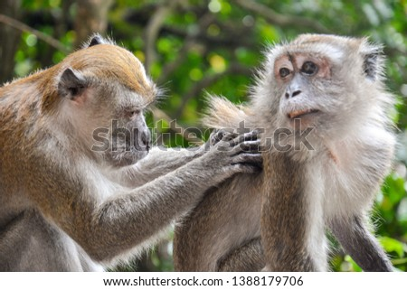 A monkey helps one another to catch flea on its back. #1388179706