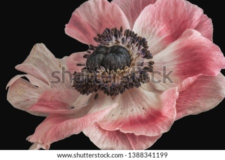white pink blue anemone blossom,fine art still life floral macro of a single isolated wide open bright bloom,detailed texture,black background,vintage painting style