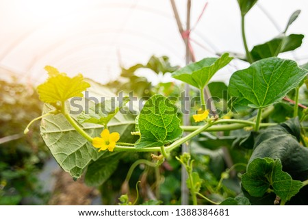 Melon leaf, melon plant growing in organic garden, growing melon seedlings on the farm. fresh melons or green melons or cantaloupe melons plants growing in greenhouse supported by string melon nets. #1388384681