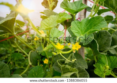 Melon flower, melon plant growing in organic garden, growing melon seedlings on the farm. fresh melons or green melons or cantaloupe melons plants growing in greenhouse supported by string melon nets. #1388386055