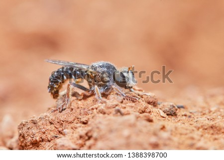 Stratiomyidae. Soldier fly. Insects of the garden.  #1388398700