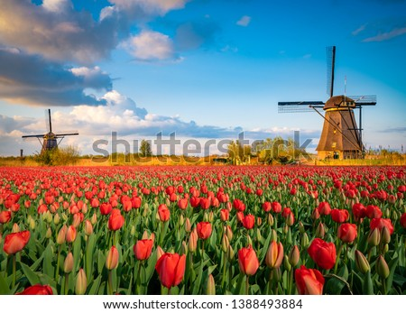 Beautiful Dutch scenery with traditional windmills and tulip flowers foreground