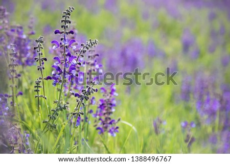 Meadow Clary, Meadow sage, Salvia pratensis. Beautiful purple flowers on wild meadow. Medicinal herb. #1388496767