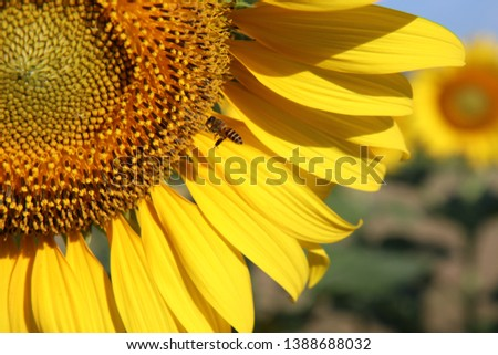 Sunflower natural background. Sunflower blooming. Close-up of sunflower. #1388688032