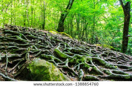 Tree roots on forest ground. Tree roots on ground. Tree roots closeup. Tree roots view #1388854760