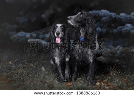 Cute Russian spaniel black and white. Sits and run and play in a park with yellow leaves #1388866160