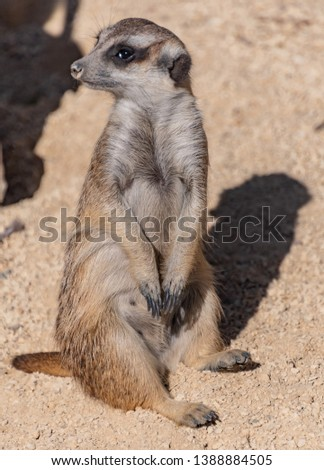 Meerkat on sentry duty - One or more meerkats will stand sentry (lookout) while other members are foraging or playing in order to warn them of approaching dangers. #1388884505