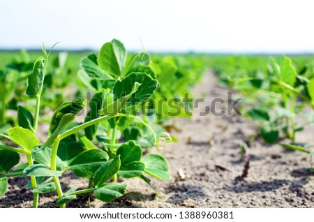 Young plant of green, vegetable peas. Young plant of green peas in the garden of early spring. Young vegetable pea plant on the soil, Pisum sativum. Pea sprouts seedling emerging from the spring soil. #1388960381