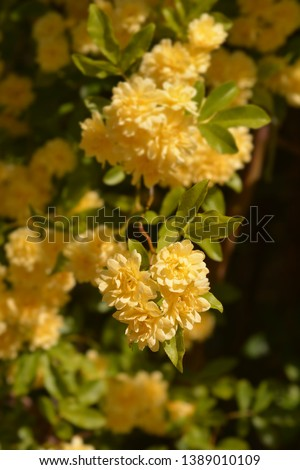 Yellow Lady Banks rose - Latin name - Rosa banksiae Lutea #1389010109