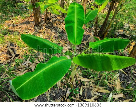 A picture of a banana tree with five leaves in different sizes in the banana garden