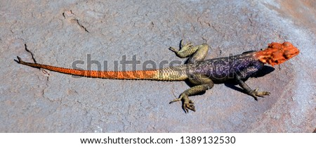 The common, red-headed rock or rainbow agama is a species of lizard from the Agamidae family found in most of sub-Saharan Africa #1389132530