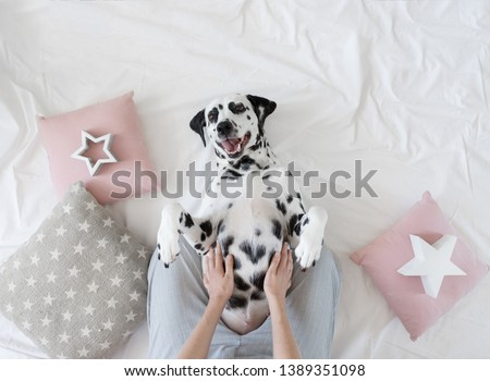 Dalmatian dog lying on her back with paws up wishing for a tummy rub. Dog in bed resting and yawning among pillows with stars pattern. Funny, cute dog's muzzle. Good morning concept. Flat lay #1389351098