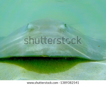 Underwater photography, close up picture of a stingray