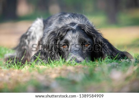 Cute spotted gray dog russian spaniel laid her head on the ground in spring or summer forest #1389584909