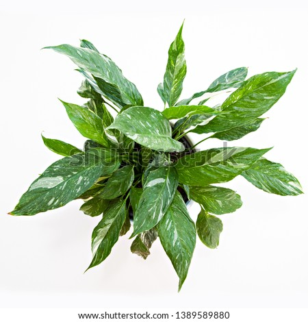 A photo taken from above, of a Variegated Peace Lilly (Spathiphyllum Domino) pot plant, with white and green marbled leaves, isolated on a white background. #1389589880