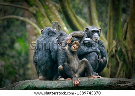 Chimpanzee consists of two extant species: common chimpanzee and bonobo. Bonobos and common chimpanzees are the only species of great apes that are currently restricted in their range to Africa #1389745370