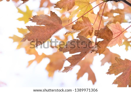 Colourful of leaves on tree in autumn have variety of colour such as red, yellow and orange. Sunny day and showing the sky in the background. #1389971306