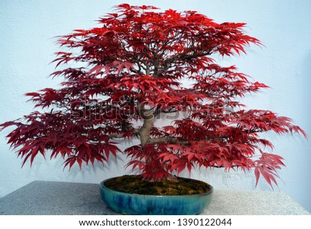 Maple Japanese bonsai. It is an Asian art form using cultivation techniques to produce small trees in containers that mimic the shape and scale of full size trees #1390122044