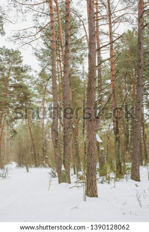 The end of winter. February month. Pine forest.Nature in the vicinity of Pruzhany, Brest region, Belarus.  #1390128062