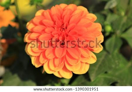 Orange aster blossom in botanic garden, yellow flower, colorful bloom #1390301951