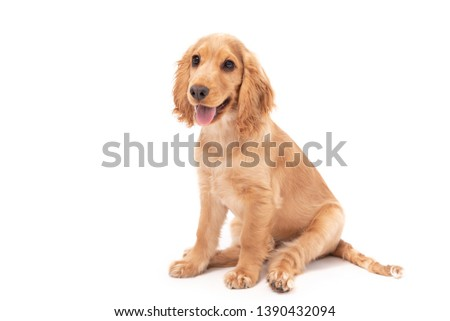 Cocker Spaniel puppy dog sitting isolated against a white background #1390432094