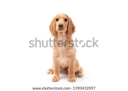 Cocker Spaniel puppy dog sitting isolated against a white background #1390432097