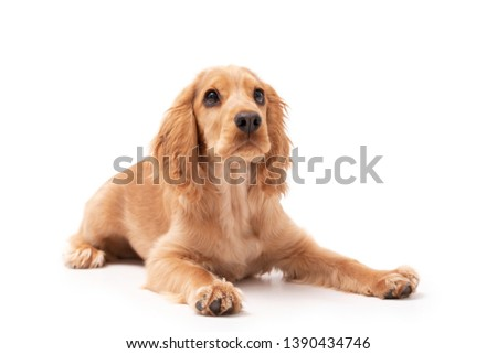 Cocker Spaniel puppy dog laying down isolated against a white background #1390434746
