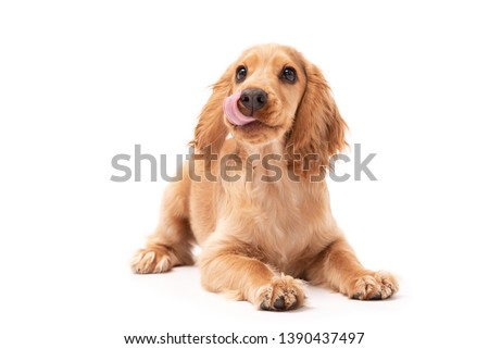 Cocker Spaniel puppy dog laying down and licking his lips isolated against a white background #1390437497