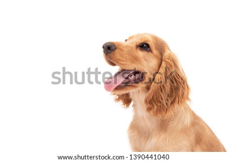 Close up of a Cocker Spaniel puppy dog looking to the side isolated against a white background #1390441040