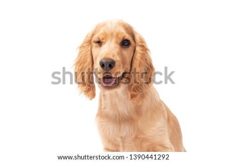 Close up of Cocker Spaniel puppy dog winking isolated against a white background #1390441292