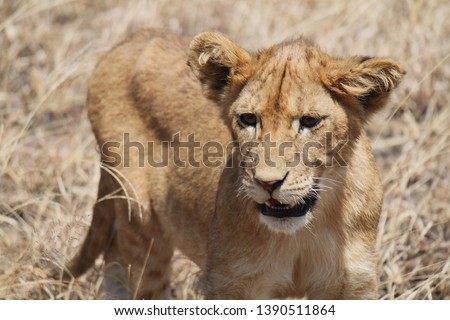 Portrait photo of a young lion. #1390511864
