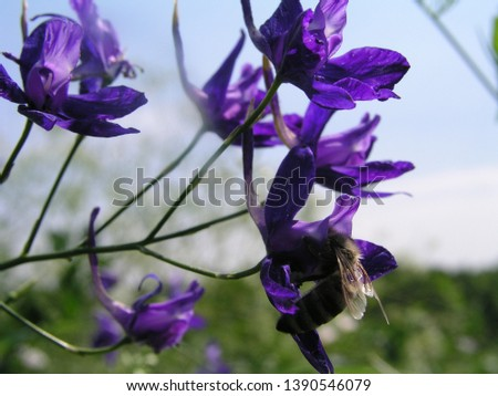 Consolida regalis, forking larkspur, rocket-larkspur, and field larkspur close-up of purple flowers growing in a meadow. Honey and medicinal plants in Europe. drug plants #1390546079
