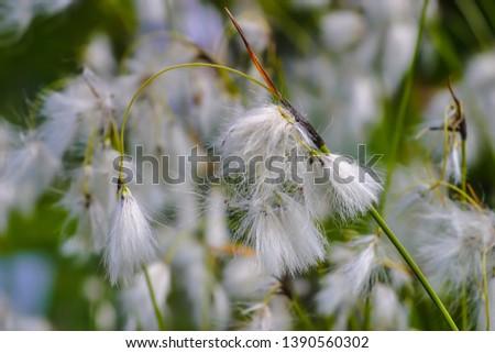 Flower of the broad-leaved cotton-grass, broad-leaved cotton-sedge, Eriophorum latifolium, in the summer #1390560302