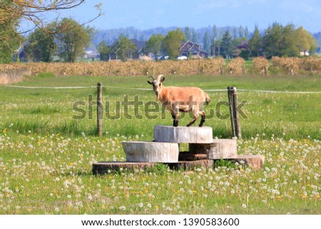 The farm pasture has been modeled with wooden steps to allow the goats to enjoy more natural and elevated surroundings.  #1390583600