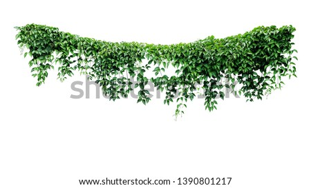 Hanging vines ivy foliage jungle bush, heart shaped green leaves climbing plant nature backdrop isolated on white background with clipping path. #1390801217