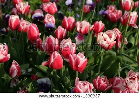tulips in a garden #1390937