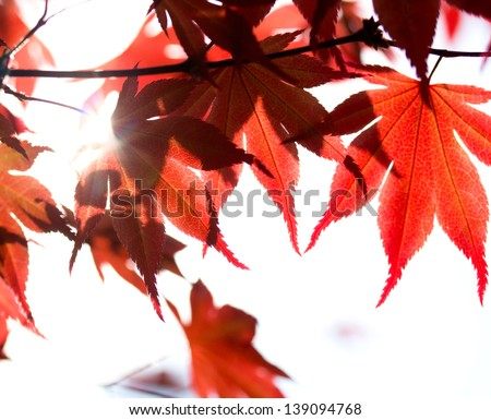 Red maple leaves against sun and sunbeam #139094768