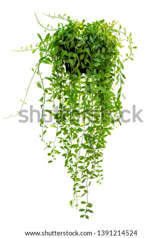 Hanging houseplant in pot for garden and home decoration isolated on white background Royalty-Free Stock Photo #1391214524