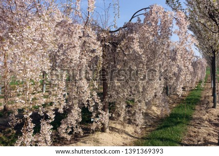Flowering apple orchard near Meckenheim, North Rhine-Westphalia, Germany #1391369393