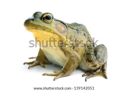 Green frog (Rana clamitans) #139142051